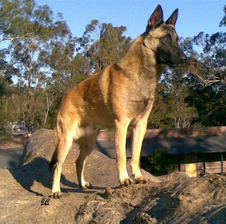 Shrek 12mths BSDC of NSW speciatly show,  Challenge Dog