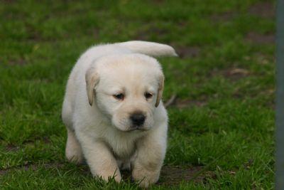 Husk Kofi pup