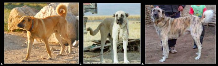 Tuzkoy Vs Haymana Vs Kangal Shepherd Dog Turkey