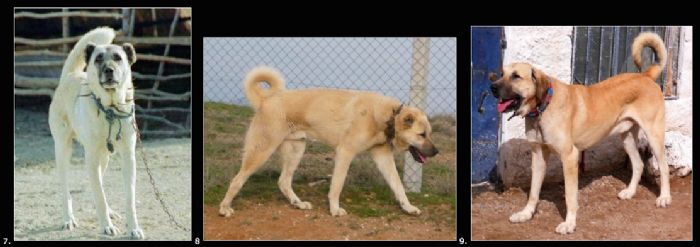 Yoruk Vs Kangal Vs Tuzkoy Shepherd Dog Turkey