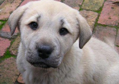 Kangal puppy Australia