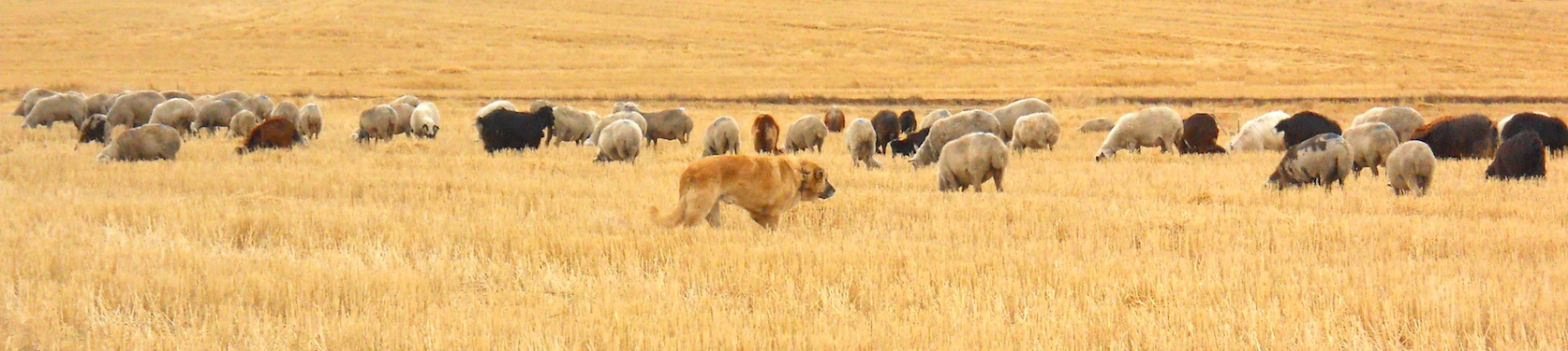 Anatolian Shepherd livestock guardian dog with sheep
