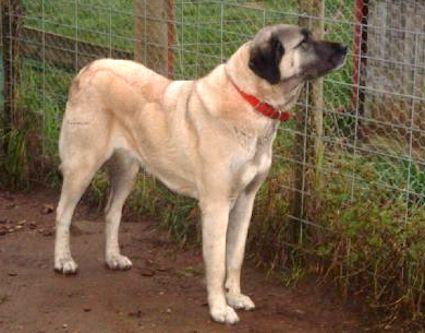 TAKAS VOLKODAV Anatolian Shepherd | Kangal Dog | Australia