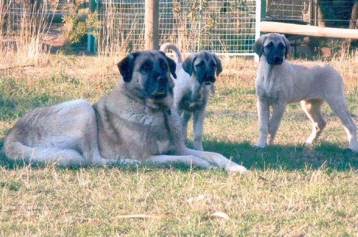 Kangal dog and puppies