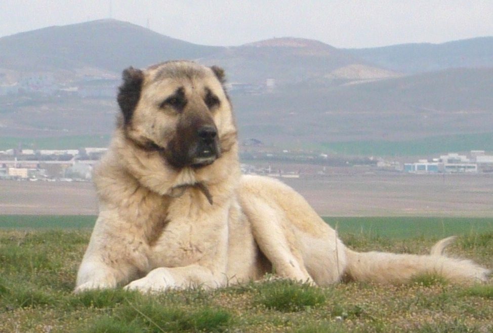 Anatolian Karabash Shepherd Dog Turkey