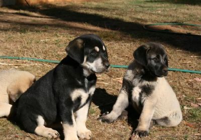 Kangal puppies