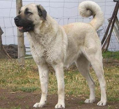 Anatolian Shepherd Kangal Karabash dog in Australia Takas Storm